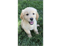 Ready for their new loving home Super Sweet ACK Golden Retriever Puppies 2500  Our family has r