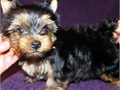 Yorkie puppies available for sale call 3044056635
