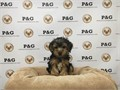 Breed  Yorkshire TerrierNickname  BatmanDOB August 08 2016Sex MaleApprox Size at Matu