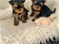 male and female yorkie pupp they love playing with toys kids and they can also be kept with other