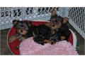 teacup Yorkie puppiesCharming Teacup Yorkie puppies Available For Lovely HomesWe have a litter of