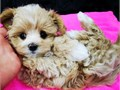 Adorable Maltipoo Puppy available for sale