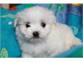 MALTESE PUPPY   Tiny healthy T Cup shots  White  Ready dewormed
