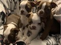 Theyre AKC registered updated on all shots potty trained text 484-455-4107