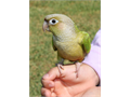 Baby Cinamon Parrot 3 Months Old Hand Fed Hand Tame Very Friendly That Not Bite At All Very Hea