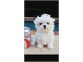 Maltese puppy 2months Health record Puppy food Puppy pad train Indoor dog white Cute playful 6