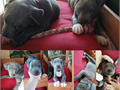 There three blue nose pit bull puppies left out of the six all male they had their first set of shot