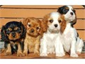 Cavalier King Charles puppies Well trained fully vaccinated and environmental friendly  for more in