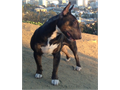 Top Quality Miniature Bull Terrier Puppies For Sale These Puppies come from an experienced Breeder