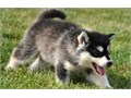 Magnificent Malamute Pups For further question or fast response textcall at 4