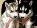 Blue eyes Siberian Husky PuppiesChildren friendly1st vaccination  MicrochipEmail directly at jo