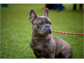Beautiful AKC blue brindle female French bulldog Shes a year and a half with great structure and p
