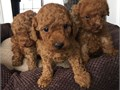 11 weeks old AKC purebred dark red poodle Puppies All shots and deworming up to dateCome with AKC