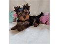 Supper Yorkie Puppieswe have well train Yorkie Puppies we need just the best forever home for them