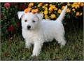 Sparkling Westie Pups BoyGirls  10weeks old  vaccinated and come papers interested Textcall 51