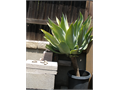 Agave Plants Extra Large 15 Gallon - From 40 Up 5 Plants Available Phone Calls  Cash Only Plea