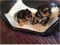 Sweet yorkie shine babies for sale for more details and pictures get back to asap via   romiad76gm