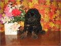 Purebred Tiny Toy Poodle Pups CKC Register ONLY AKC Reg EXTRA 8 Weeks Old 1st Male Pu