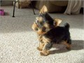 I have adorable little Yorkie pup 12 weeks old and weighs around 23lbs Has shots up to date and de