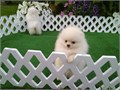 Two white stunning Pomeranian puppies Male and Female 8 weeks old They are very unique poms with