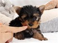 Akc Yorkies  BoyGirls  11weeks old  vaccinated and come papers interested Textcall 323 402-19