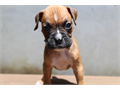 Beautiful Boxer Puppies These pups have been raised around young children so they are good Family d
