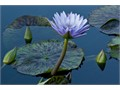 one gorgeous Blue Water Lily not in bloom spotted green and purple leaves Cash Only Dwarf Papyrus 5