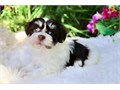 reasonable  Havanese puppies availableThese puppies akc registered  vet checked and will come with