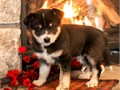 Meet Coby an adorable soft and fluffy Pomsky pup Family raised in a home with