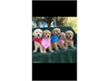 Super Cute AKC Golden Retriever Puppies Ready to go to their new loving home  Champion bloodl