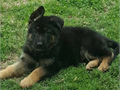 SPECIAL PREMIUM LITTER  bred for beauty brains and courage For police and family protection Show