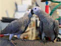 Adorable male and female African grey parrots ready for beautiful lovely homes