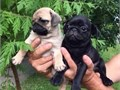 Adorable puppies for rehoming akc registered vat checkeddewormed all shots co