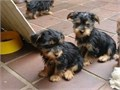 sfd Registered Male And Female Puppies Available they are all vet checked home trainedand house b