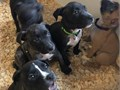 We are proud to announce we have an outstanding litter on the ground ready for there forever homes