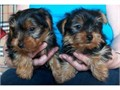 Adorable Yorkie Puppies For Adoption i have nice baby face Yorkie Puppies For Adoption They are 12 w