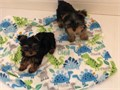 2 adorable yorkie puppies looking for a good home   purebred all papers  a male and a female Th
