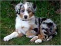 Australian Shepherd pups Ready NowThey are Males and females and will make a perfect home addition