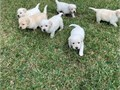 Purebred Labrador retriever puppies for sales these puppies are really the best they loving play a
