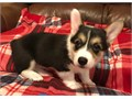 Female Welsh Pembroke Corgi Pup for rehoming   If interested in her  contact for more details reg