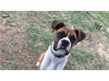 Amazing flashy fawn Boxer for stud service He is beautiful and intelligent He has a very loving pe