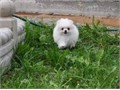 We have the most beautiful pure white little girl for sale Vet health checked vaccinated dewormed