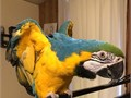 Hand Reared Blue And Gold Macaw BabiesText or call 757 405-7418