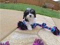 Puppys name ValentinaBreed CavalierBichon FriseAge 9 weeks oldRegistry NAEstimated ad