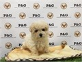 Breed  Maltipoo Maltese  Poodle MixNickname  PapayaDOB February 28 2017Sex  Female