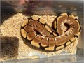 2016 male Spider ball python great contrasting coloration healthy over 550 grams  7500 562-458
