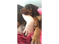 Male Doberman pup for sale located in Spokane WA Working on crate and potty training has been aro