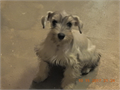 Cute Male Puppy 14 weeks old He has hist 2 shots he is dewormed also has his tail docked