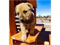 American Bandogge Mastiff puppies for more details and pictures contact me via