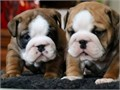 ENGLISH Bulldog AKC Puppies Available Lilacs Chocolates Blues Blacks Tris All The Exotic Co